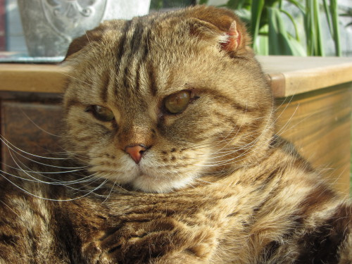 Scottish Fold Kater Chocolate Tabby